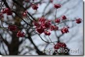 東京国立博物館の八重桜