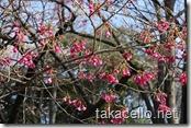 上野公園の桜?