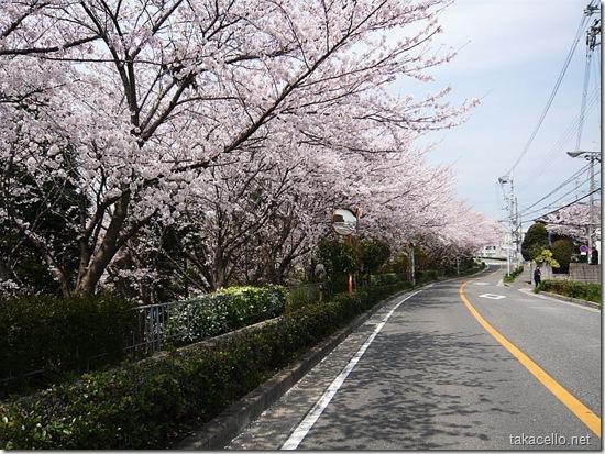 阪大横の桜道