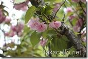 グラバー園の八重桜