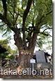 樹齢900年の天然記念物に指定されている御神木
