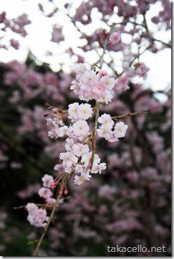 八重桜もありました