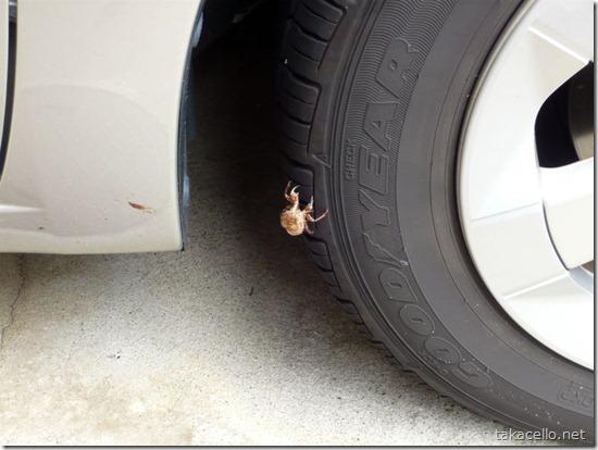 セミの抜け殻がプリウスのタイヤにくっついていました。